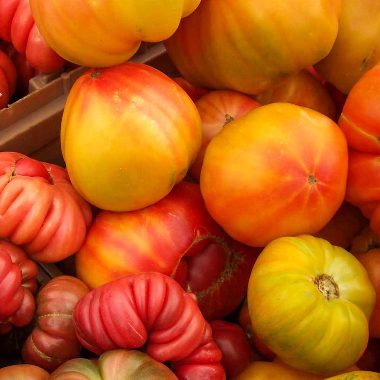Heirloom Pineapple Tomato Seeds Terroir Seeds