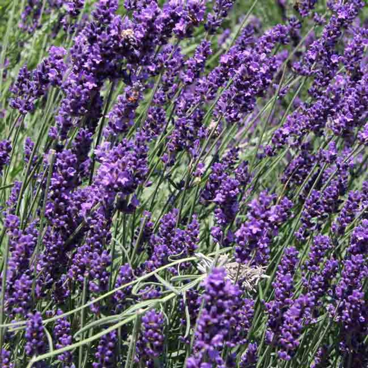 Lavender Lavandula Flower Seeds  Perennial  60+