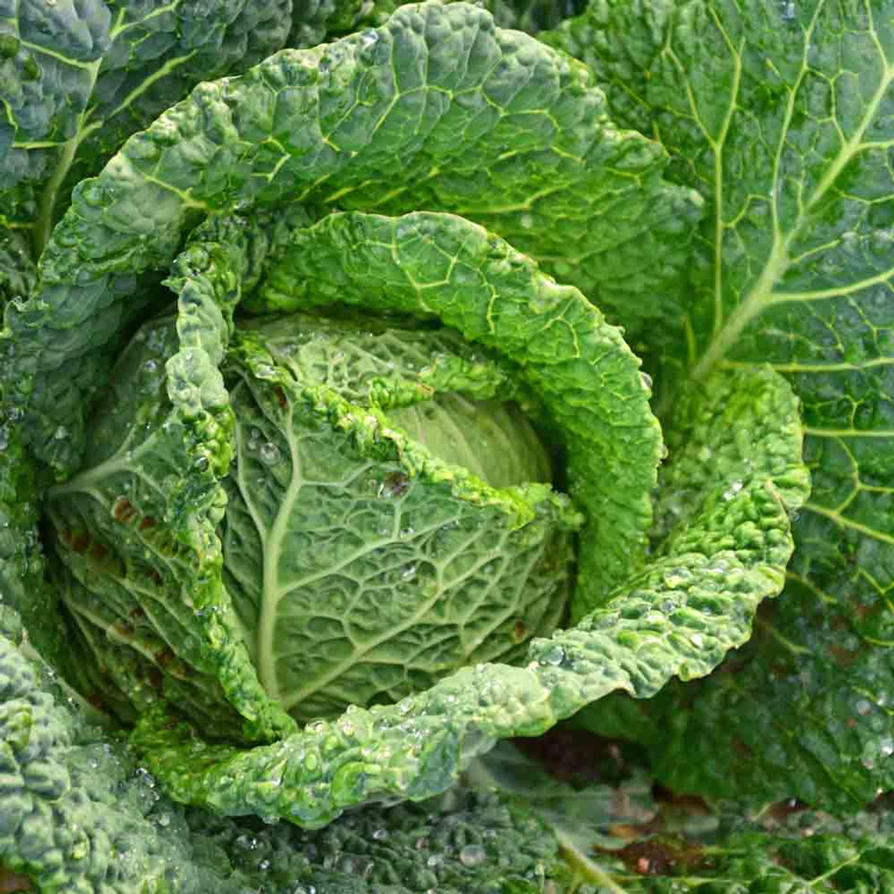 Savoy Perfection Heirloom Cabbage Seeds Terroir Seeds