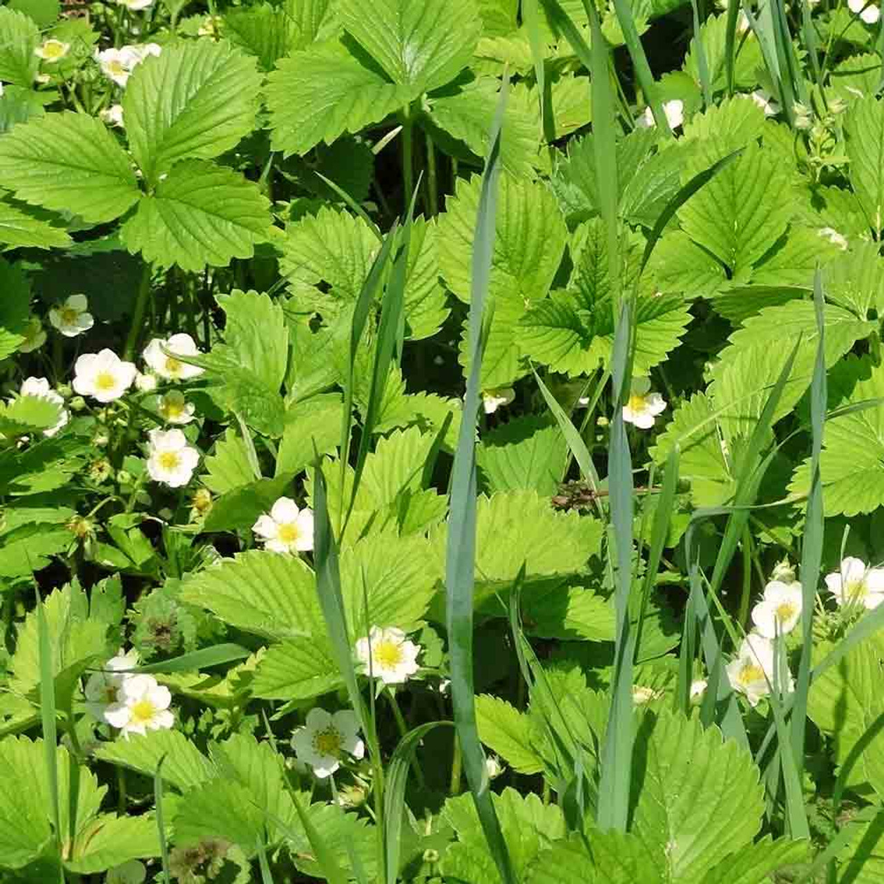 Four Season Alpine Strawberry Seeds 'Fragola Quattro Stagioni' - (Fragaria  vesca)