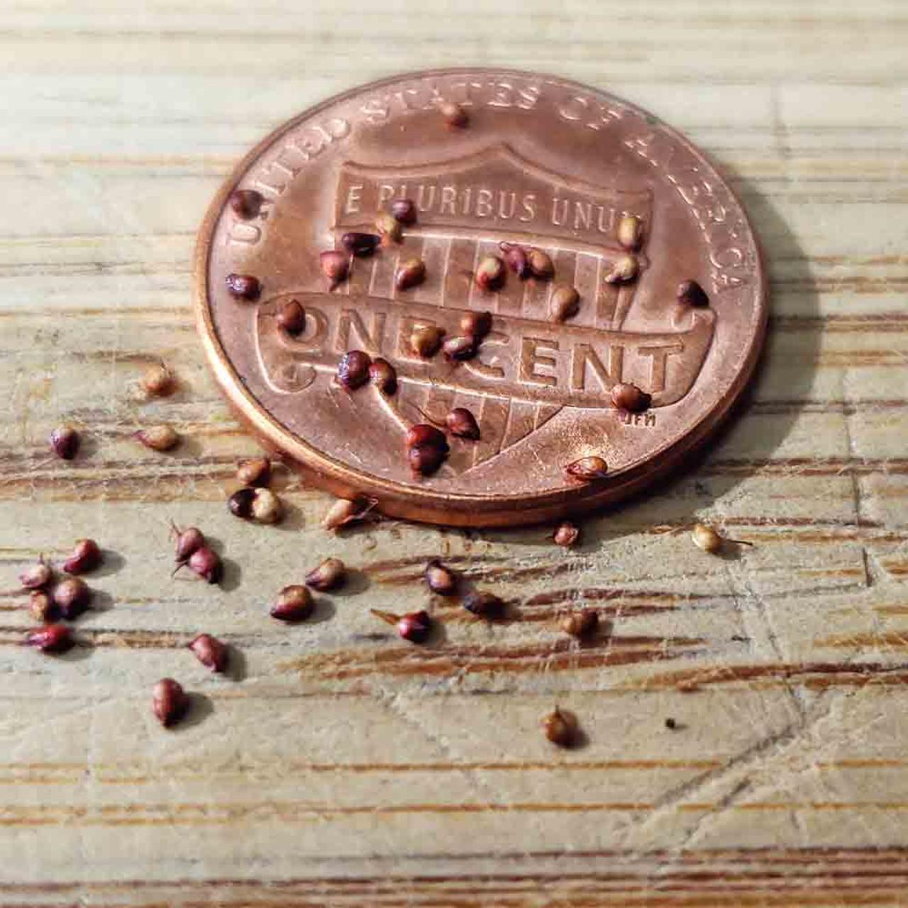 Alpine Strawberry Seeds 'Ruegen' - (Fragaria vesca)