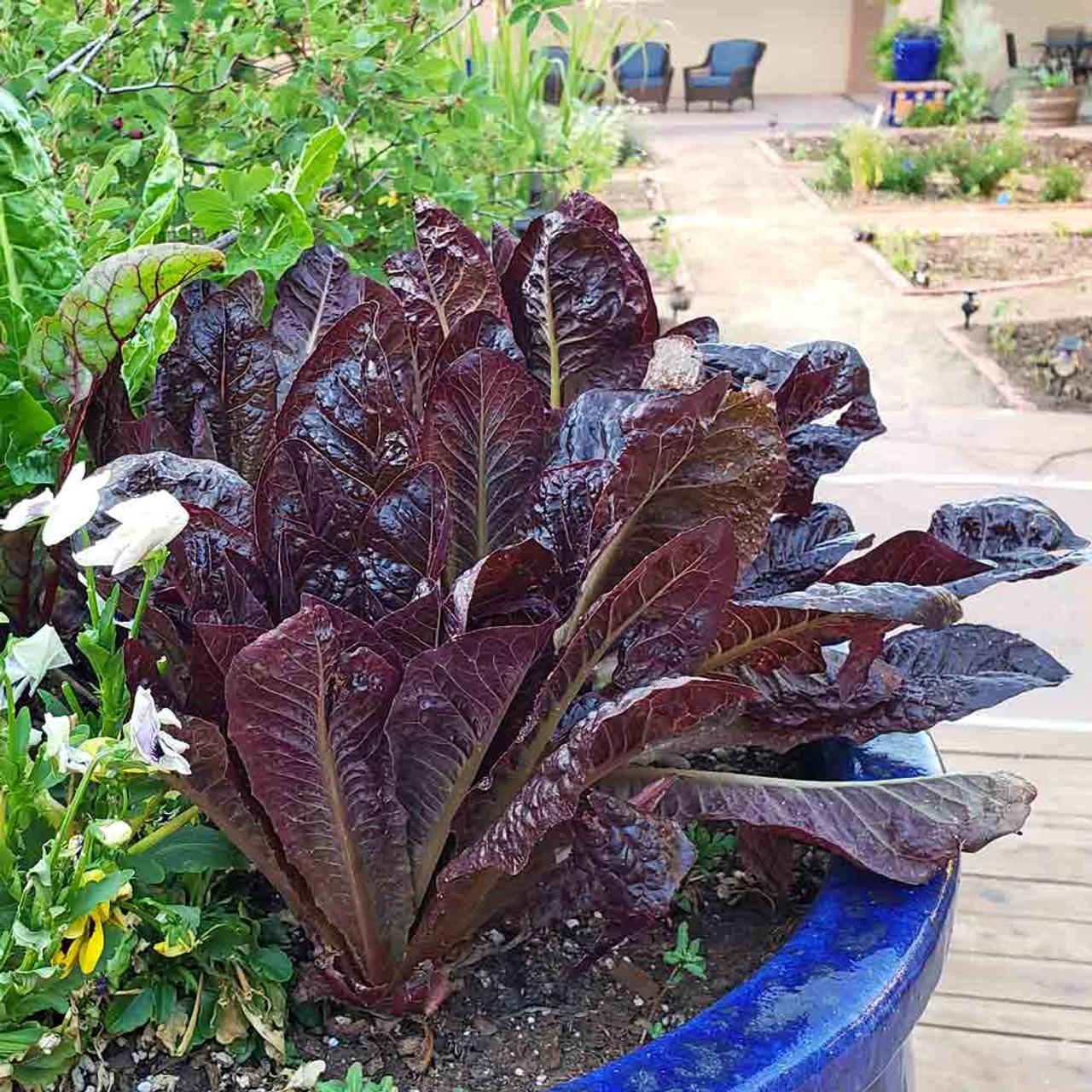 Lettuce Red Romaine Vegetable Seeds