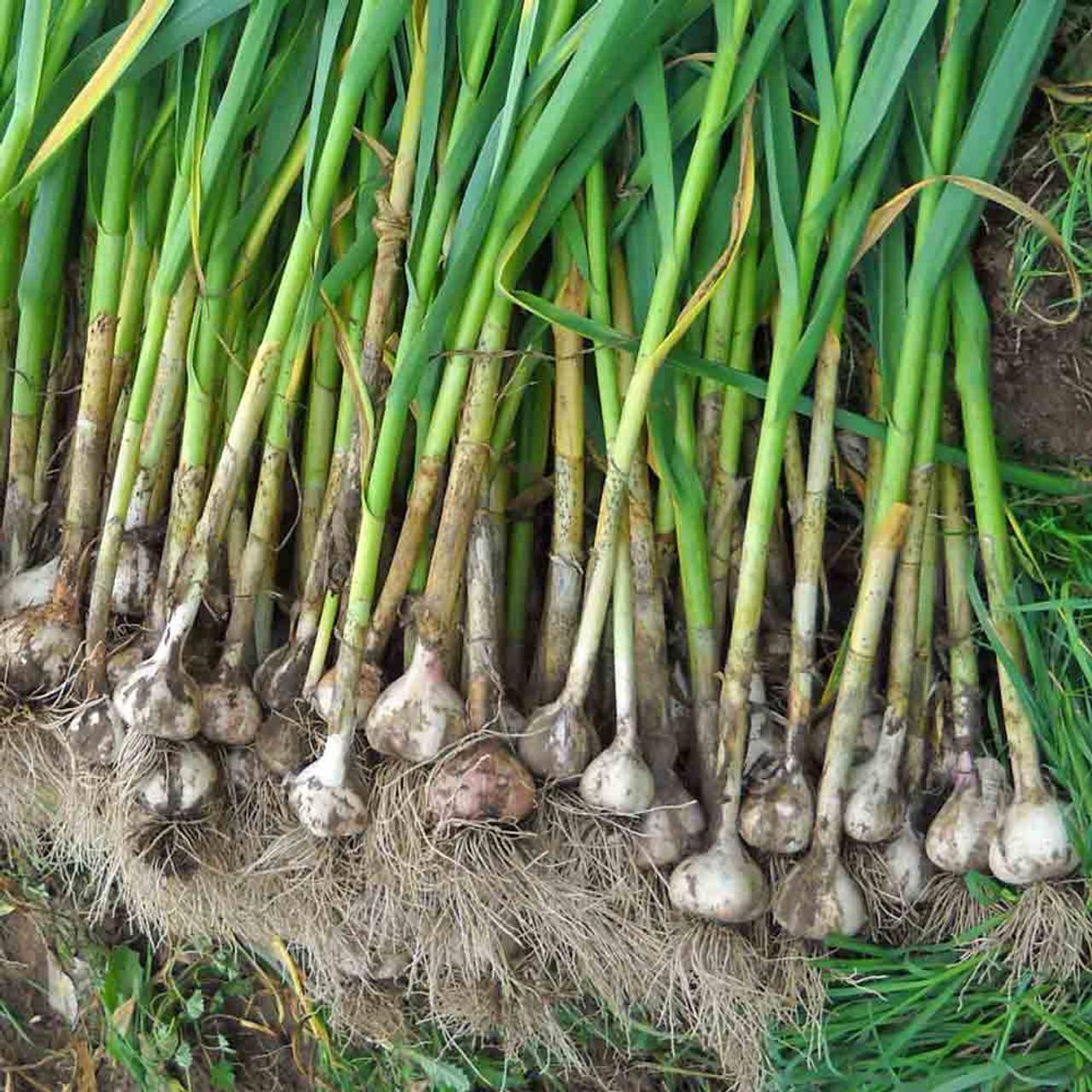 Organic Music Garlic Braid