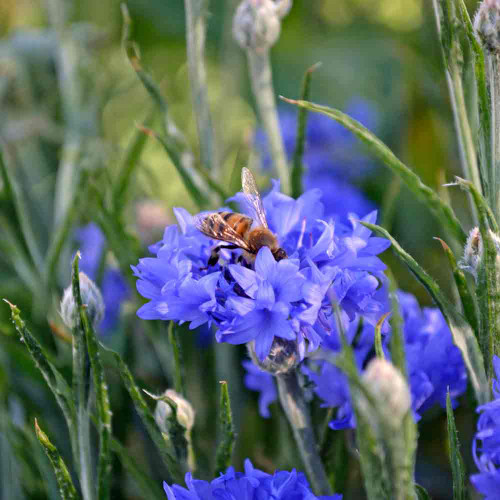 Dwarf Blue Cornflower/ Bachelor Buttons blossom with bee - (Centaurea cyanus)