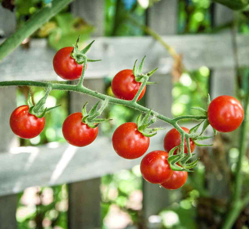 Ripe Sweet Pea Heirloom Currant Tomatoes - (Solanum pimpinellifolium)