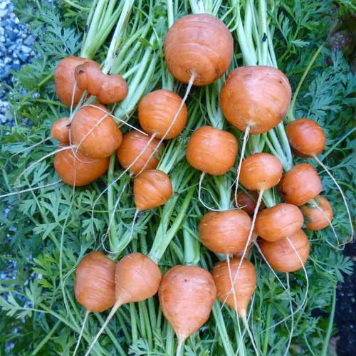 Fresh Parisian Carrots - (Daucus carota)