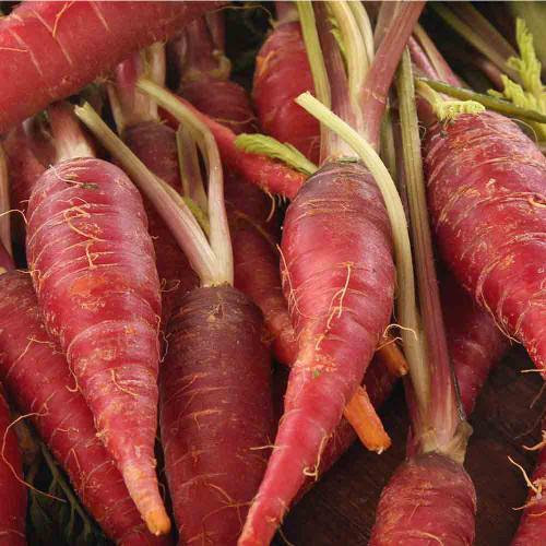 Red Samurai Carrots - (Daucus carota var. sativus)