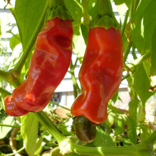 Ripe Red Peter Peppers - (Capsicum annuum