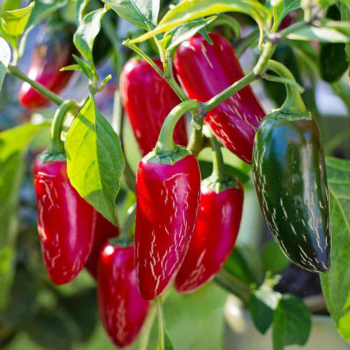 Nadapeno Sweet Peppers in red stage - (Capsicum annuum)