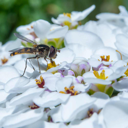 Hover Fly on Candytuft - Beneficial Insects Wildflower Seed Mix