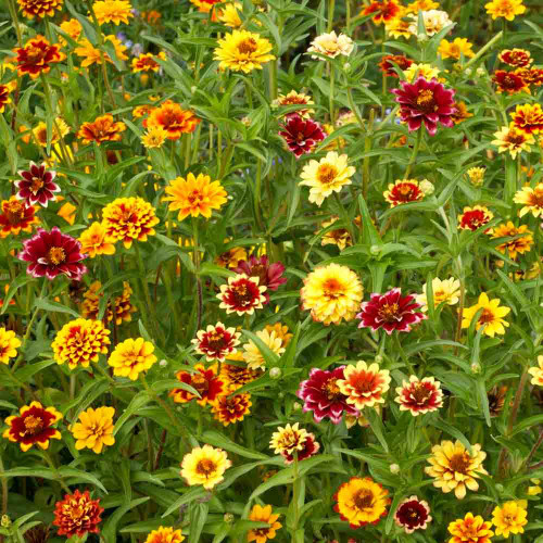 Persian Carpet Mexican Zinnia flowers