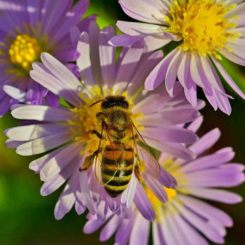 Bee on China Aster Flowers - (Callistephus chinensis)