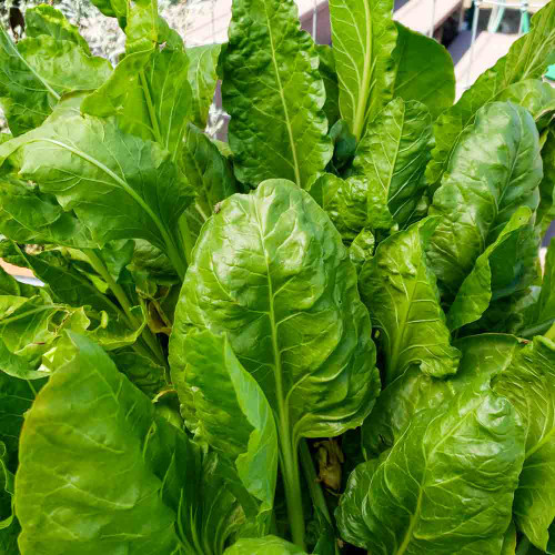 Lucullus Swiss Chard - Terroir Seeds