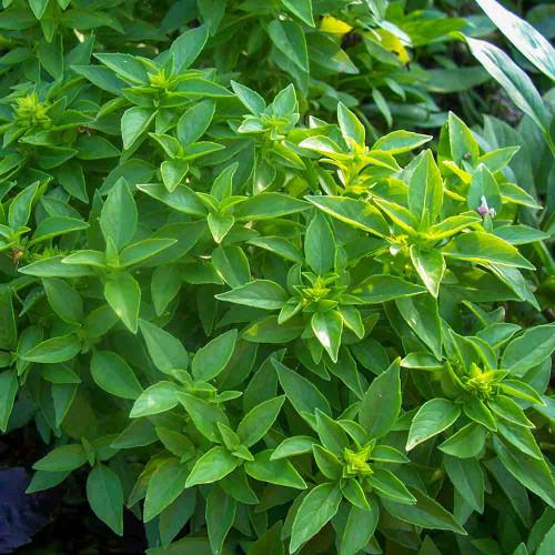Spicy Globe Bush Basil Leaves - (Ocimum basilicum)