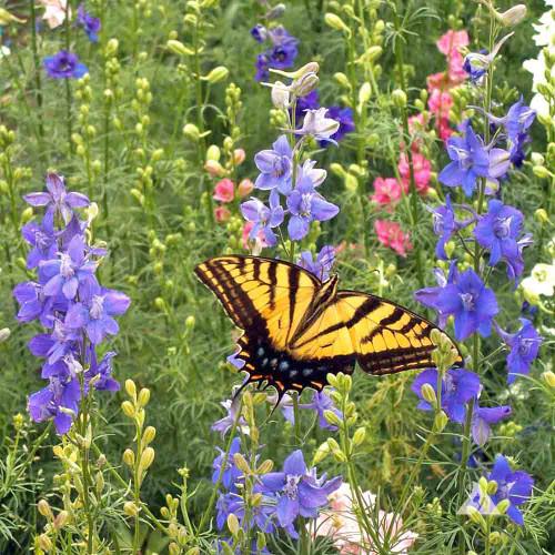 Hummingbird & Butterfly Seed Mix