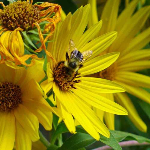 Maximilian's Sunflower Blossom with Bee - (Helianthus maximiliani)