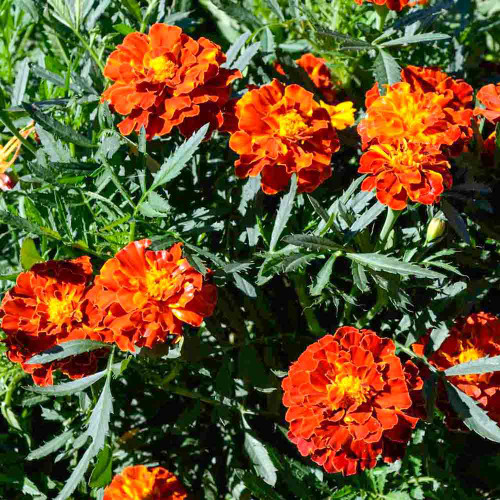 French Brocade Marigold flowers - (Tagetes patula)