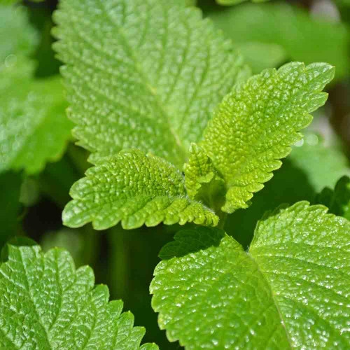Lime Balm leaves - (Melissa officinalis 'Lime')