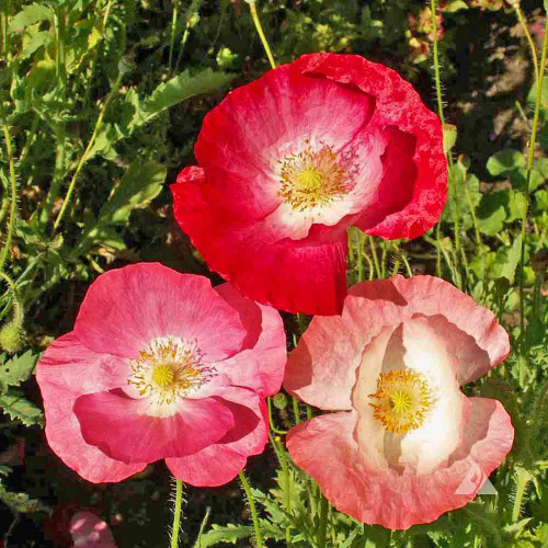 Single Mixed Corn Poppy  - (Papaver rhoeas)