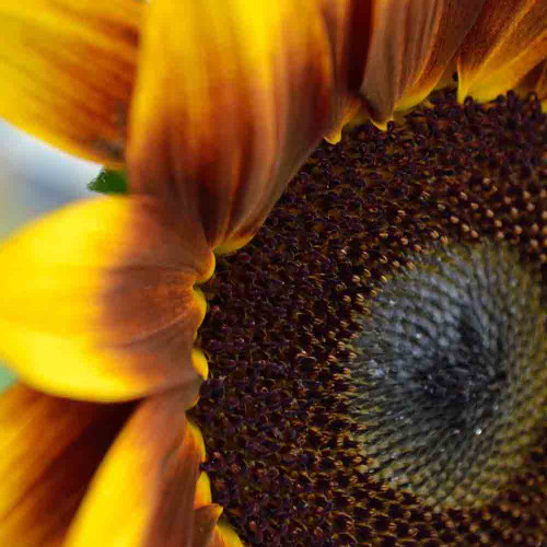 Van Gogh Sunflower Mix - (Helianthus annuus)