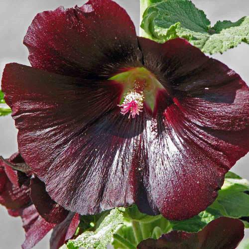 Black Hollyhock blossoms - (Alcea rosea)