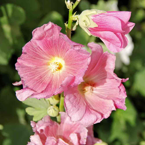 Indian Spring Mix Hollyhock blossoms - (Alcea rosea)