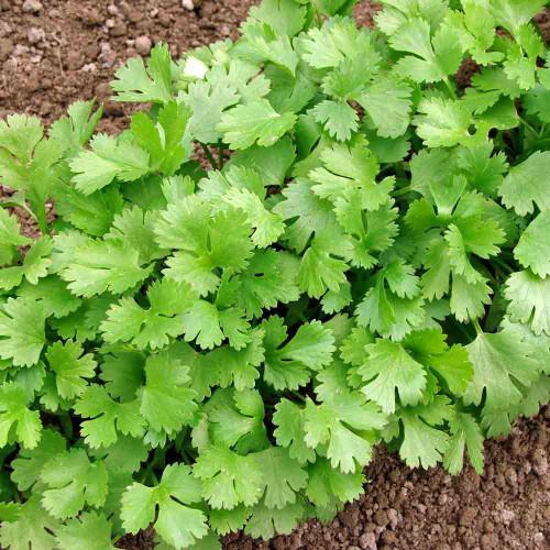 Slow Bolting Cilantro leaves - (Coriandrum sativum)