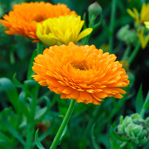 Pot Marigold (Calendula officinalis)