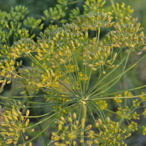Dukat Dill - (Anethum graveolens)