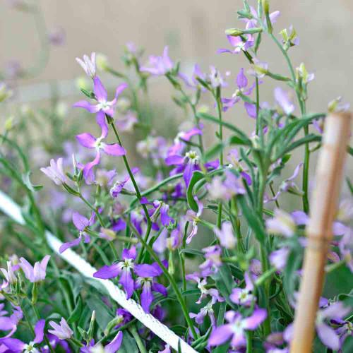 Evening-Scented Stock flowers- (Matthiola longipetala)