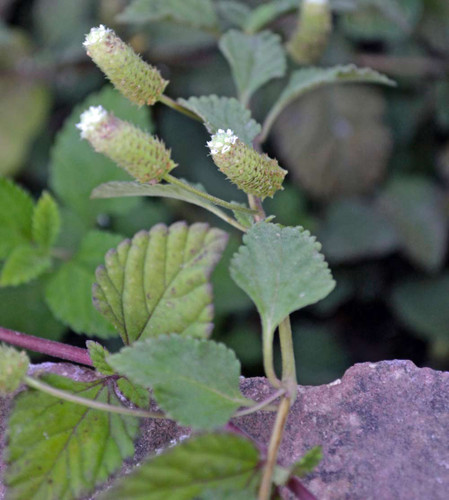 Dulce Buttons / Aztec Sweet Herb - (Lippia dulcis)