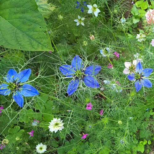 Nutmeg Flower/Black Cumin flowers- (Nigella sativa)