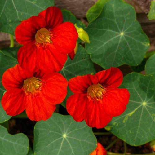 Empress of India Nasturtium flowers - (Tropaeolum majus)