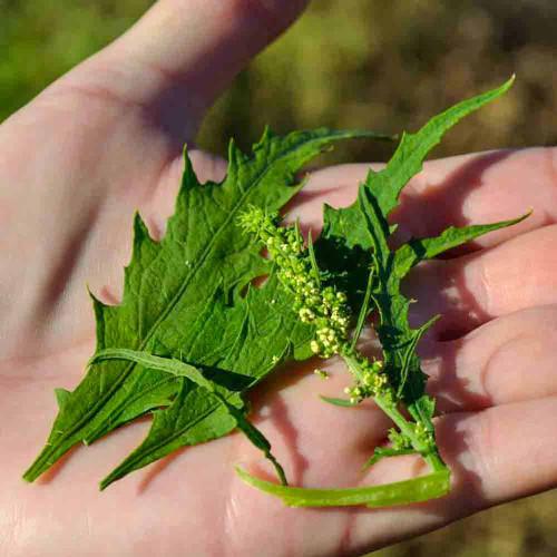 Epazote leaves - (Chenopodium ambrosioides)