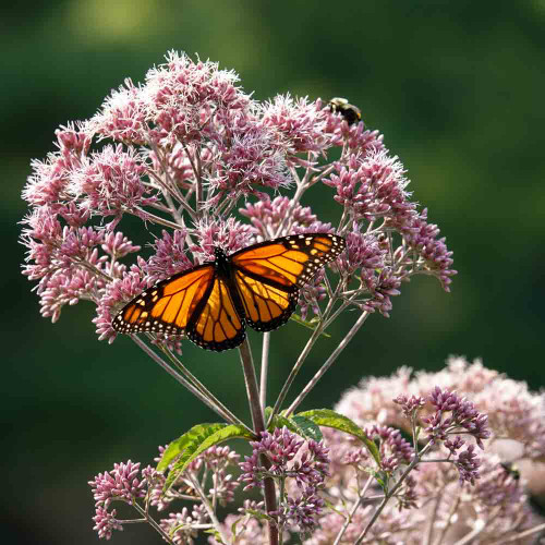 Viceroy Butterfly on Joe Pye Weed Flowers - (Eupatorium maculatum )