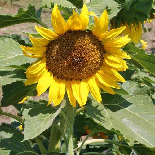 Dwarf Sunspot Sunflower head - (Helianthus annuus)