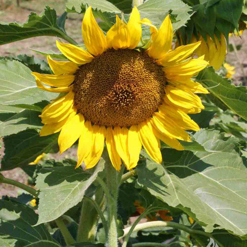 Dwarf Sunspot Sunflower head - (Helianthus annuus)