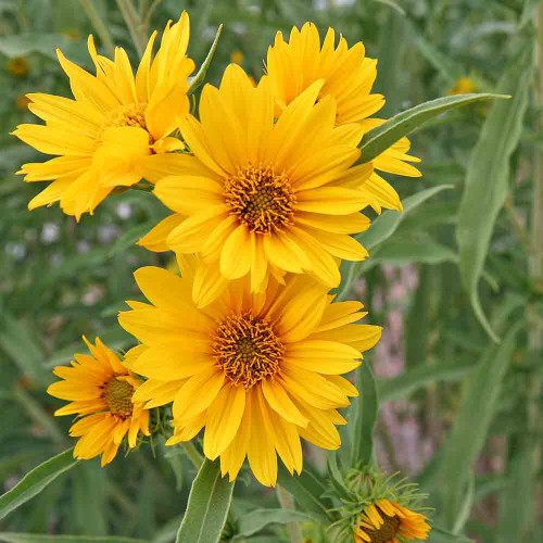 Maximilian's Sunflower blossoms - (Helianthus maximiliani)