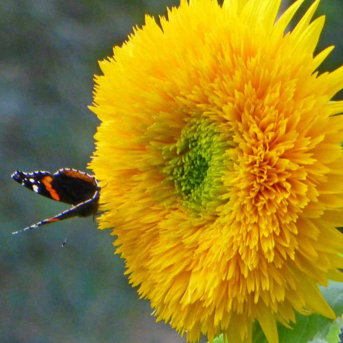 Teddy Bear Sunflower - (Helianthus annuus)