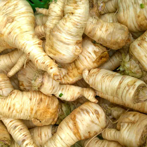 Freshly Harvested Hamburg Root Parsley - (Petroselinum crispum var. tuberosum)