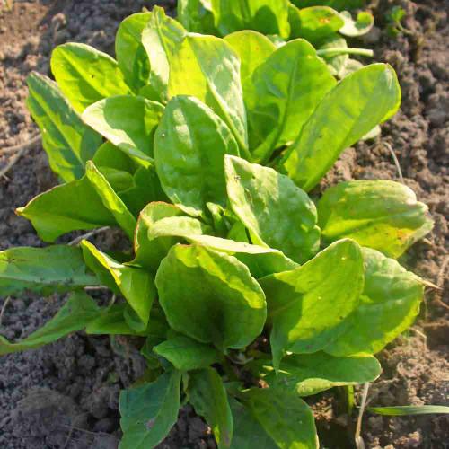 French Sorrel plant - (Rumex scutatus)