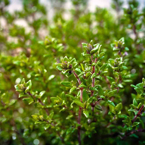 English Thyme  - (Thymus vulgaris)