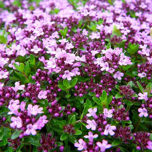 Creeping Thyme Flowers - (Thymus serpyllum)
