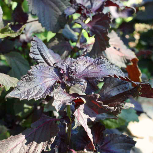 Red Shiso/Perilla leaves - (Perilla frutescens var. crispa)