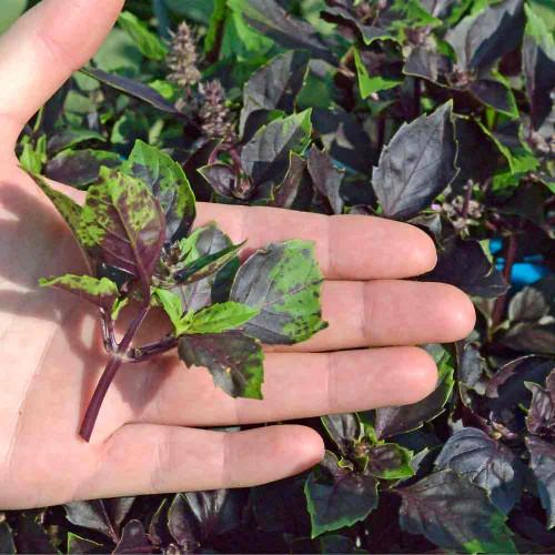Purple Dark Opal Basil sprig - (Ocimum basilicum)