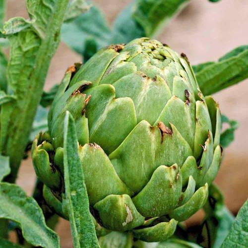 Green Globe Artichoke - (Cynara scolymus)