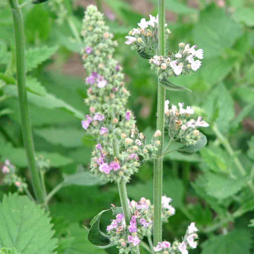 Catnip flower stalk  - (Nepeta cataria)