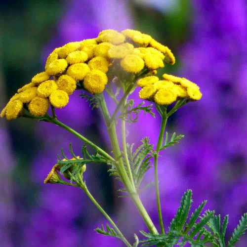 Tansy Flowers - (Tanacetum vulgare)
