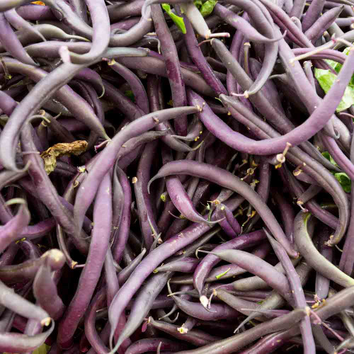 Freshly harvested Royalty Purple Pod Bush Beans - (Phaseolus vulgaris)