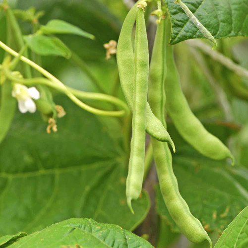 Lazy Housewife Pole Bean - (Phaseolus vulgaris)